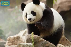 pandas_zooparc_de_beauval_01